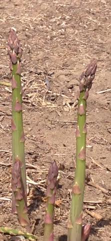 Possible frost tonight threatens asparagus; worker shortage continues
